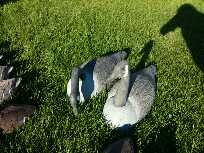 2 Canadian Geese Shell Decoys in Naperville, Illinois