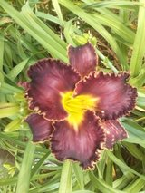 "Daylily, ""Edge of Eden"" in Byron, Georgia"