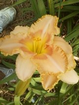 """Daylily, """"Wisest of Wizards"""" in Warner Robins, Georgia"""