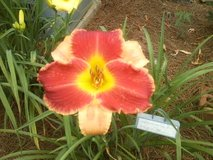 """Daylily, """"New Perspective"""" in Warner Robins, Georgia"""