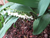 Lily of the Valley - Likes the shade in St. Charles, Illinois