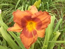 "Daylily, ""Duke of Durham"" in Byron, Georgia"