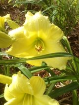 "Daylily, ""Imperial Lemon"" in Byron, Georgia"