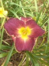 """Daylily, """"Louis The Sixteenth"""" in Perry, Georgia"""