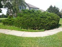 Need bush removed!!! in Naperville, Illinois