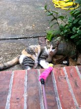 MISSING Calico Cat 9/17/2015 in Kingwood, Texas