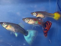 Wanting To Buy Some Fancy Tail Guppies in Fort Leonard Wood, Missouri