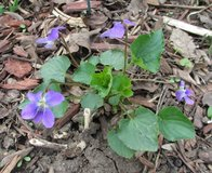 Wild violets in St. Charles, Illinois
