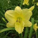 Reblooming Yellow Daylilies- 'HAPPY RETURNS', Pots or Clumps in St. Charles, Illinois