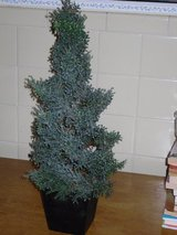 """19"""" tree in blk wood pot in Glendale Heights, Illinois"""