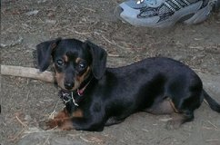 L O S T: Black and Tan female Dachshund/Chihuahua, Nr. Bentwater. in Conroe, Texas