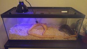 Cornsnake in Camp Pendleton, California