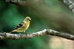 """Goldfinch on a Branch 8.5"""" x 11"""" Print $10 in Cherry Point, North Carolina"""