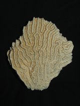 Brain Coral 2 Specimens in Aurora, Illinois