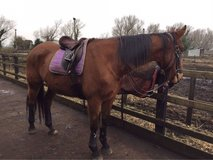 Horse and Ponies for loan in Lakenheath, UK