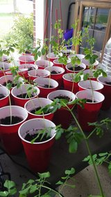 3 Moringa (Miracle Tree) Seedlings in Chicago, Illinois