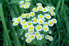 Feverfew plants in St. Charles, Illinois