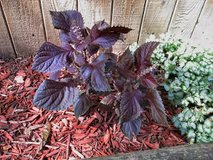 Purple Thai Basil (does well in sun or shade) in St. Charles, Illinois