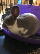 Bunny rabbit for sale in Naperville, Illinois