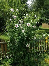 Rose of Sharon tree in St. Charles, Illinois