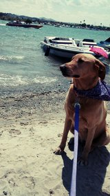 Golden lab in Yucca Valley, California