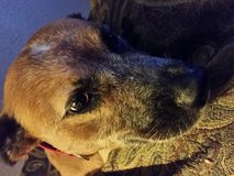 LOST MISSING DOG in Pearland, Texas