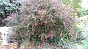 BARBARY BUSH RED in Tinley Park, Illinois