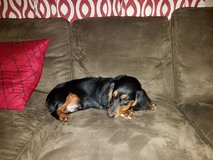 Black and Brown Dachshund  Puppy--LUKA in Beaufort, South Carolina