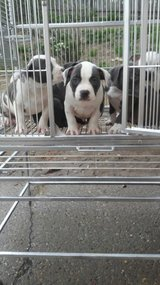 Cute AKC American Bully pups. in Pearland, Texas