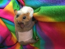 Skinny pig hairless guinea pig male in Naperville, Illinois