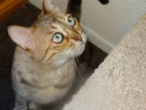LOST Female BENGAL CAT 6 yrs old! TAKES MEDS!   $500.00 REWARD!!! in 29 Palms, California