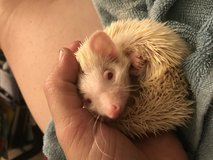 PNWH Has Baby Hedgehogs Ready Now in Tacoma, Washington