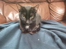 found black tuxedo cat in Naperville, Illinois