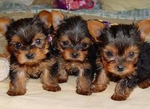 house train Yorkshire Terrier puppies in Tacoma, Washington
