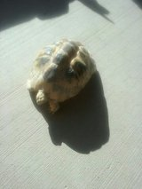 Golden greek tortoise captive born 3 years old in Yucca Valley, California