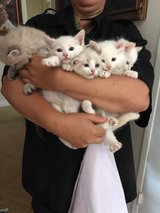 beautiful white kittens in Camp Pendleton, California