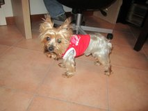 lost yorkie in Fort Campbell, Kentucky