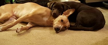 2 amazing loveable dogs in Fort Lewis, Washington