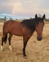 Mustang Mare in Yucca Valley, California