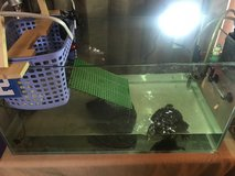 Free 4 year old Red Eared Slider turtle and all equipment! in Okinawa, Japan