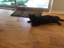 Black Female Kitty,  One year old in Spring, Texas