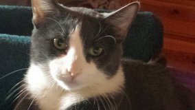 Lost Grey and White Cat in Yucca Valley, California