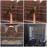 Green cheek conure in Fort Knox, Kentucky