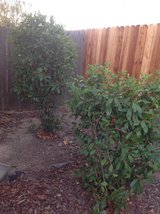 Free plants and bushes, you dig and haul away in Travis AFB, California