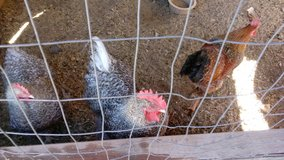 Roosters of three in Yucca Valley, California
