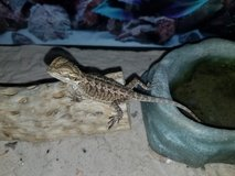 Baby bearded dragon in Fort Lewis, Washington