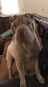 missing Sharpei in Fort Campbell, Kentucky