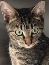 Most Adorable Kitty?For Adoption in Kingwood, Texas