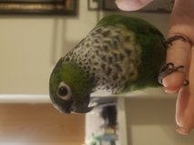Conure parrorit in Quantico, Virginia