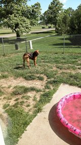 Coon hound 2 years old in Fort Riley, Kansas